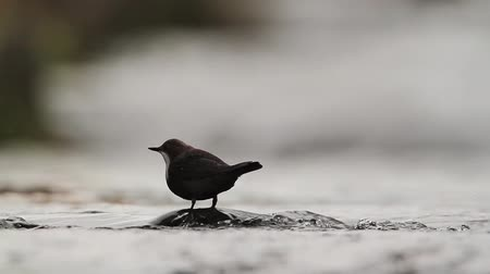 mevcut : Common Dipper in Vosges, France - specie Cinclus Cinclus family of Cinclidae Stok Video