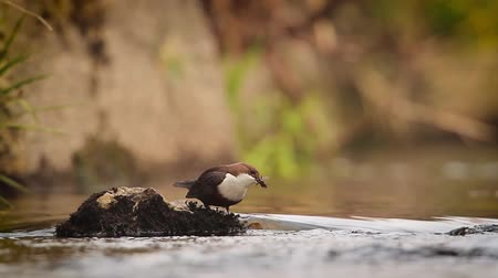 vosges : Common Dipper in Vosges, France - specie Cinclus Cinclus family of Cinclidae Stock Footage