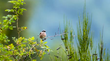 kuş gözlem : Red-backed Shrike in Vosges, France - specie Lanius family of lanidae