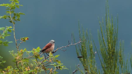 insectivorous birds : Red-backed Shrike in Vosges, France - specie Lanius family of lanidae