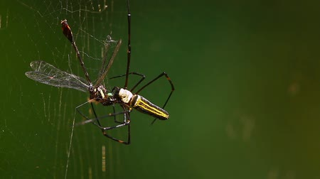 terai : golden orb-web in Bardia National Park, Nepal - specie Nephila pilipes family of Nephilidae
