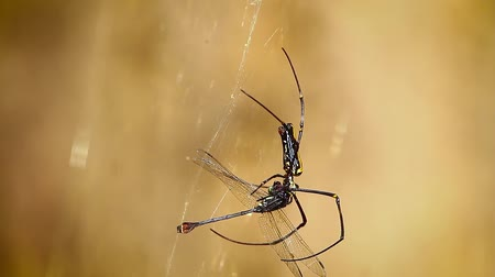 bardia national park : golden orb-web in Bardia National Park, Nepal - specie Nephila pilipes family of Nephilidae