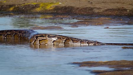 ranthambore national park : Asian Python in Bardia National Park, Nepal - specie Python molurus family of Pythonidae