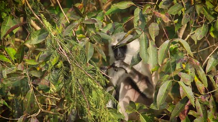 monkey : Hanuman Langur in Bardia national park, Nepal - specie Semnopithecus entellus family of Cercopithecidae