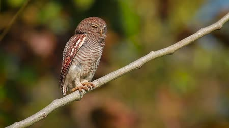 sowa : Jungle owlet in Bardia National Park, Nepal - specie Glaucidium radiatum family of Strigidae
