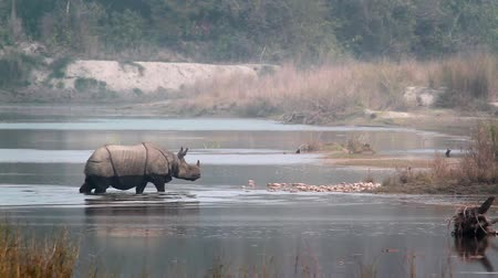 greater : Greater One-horned Rhinoceros in Bardia National Park, Nepal - specie Rhinoceros unicornis family of Rhinocerotidae