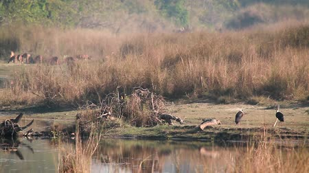 brodění : Wooly-neck stork, crocodile mugger and spotted deer in Bardia National Park, Nepal