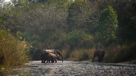terai : Asian Elephant in Bardia National Park, Nepal - specie Elephas maximus family of Elephantidae