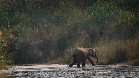 endangered species : Asian Elephant in Bardia National Park, Nepal - specie Elephas maximus family of Elephantidae