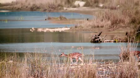 ranthambore national park : Spotted Deer in Bardia national park, Nepal - Specie Axix axis family of Cervidae