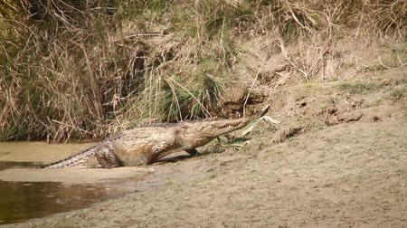 ranthambore national park : Mugger Crocodile in Bardia national park, Nepal - specie Crocodilus palustris family of Crocodylidae