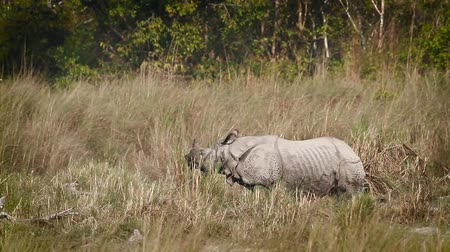 rhinoceros unicornis : Greater One-horned Rhinoceros in Bardia National Park, Nepal - specie Rhinoceros unicornis family of Rhinocerotidae