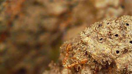 ranthambore national park : Red ants and termite in Bardia National Park, Nepal - eusocial insects of the family Formicidae and isoptera Stock Footage