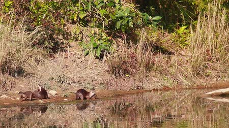 kaplanmış : Smooth-coated Otter in Bardia National Park, Nepal - specie Lutrogale perspicillata family of Mustelidae Stok Video