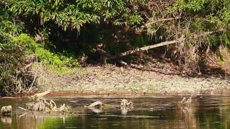 bardia : Smooth-coated Otter in Bardia National Park, Nepal - specie Lutrogale perspicillata family of Mustelidae Stock Footage