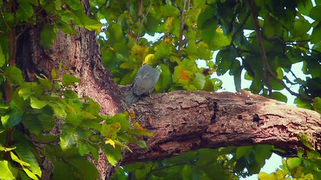 picidae : Great slaty woodpecker in Bardia National Park, Nepal - specie Mulleripicus pulverulentus family of Picidae