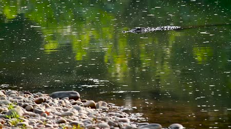yırtıcı hayvan : Mugger Crocodile in Bardia national park, Nepal - specie Crocodilus palustris family of Crocodylidae