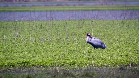 terai : Sarus crane in Bardia National Park, Nepal - Specie Grus antigone family of Gruidae Stock Footage