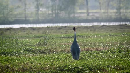 mevcut : Sarus crane in Bardia National Park, Nepal - Specie Grus antigone family of Gruidae Stok Video