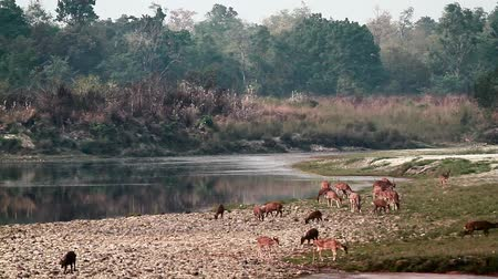 terai : Spotted Deer and hog deer in Bardia National Park, Nepal - specie Axix axis and Axis porcinus family of Cervidae