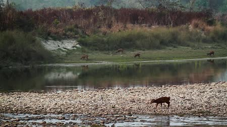 bardia : hog deer in Bardia national park, Nepal - specie Axis porcine family of Cervidae