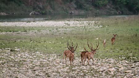 ranthambore national park : Spotted deer in Bardia national park, Nepal - Axix specie axis family of cervidae Stock Footage