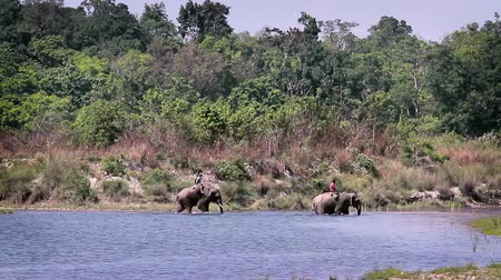 terai : Domestic asian elephant crossing river in Bardia National Park, Nepal - specie Elephas maximus family of Elephantidae
