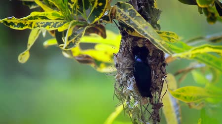 terai : Purple sunbird nesting in Bardia National Park, Nepal - specie Nectarinia asiatica family of Nectariniidae Stock Footage