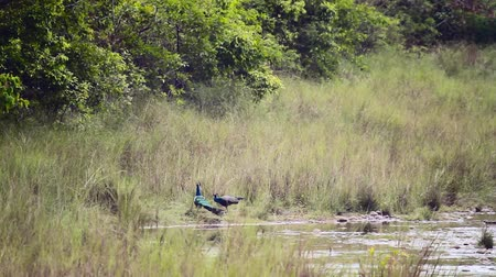 cristatus : Indian male peafowl dueling in Bardia national park, Nepal - specie Pavo cristatus family of Phasianidae