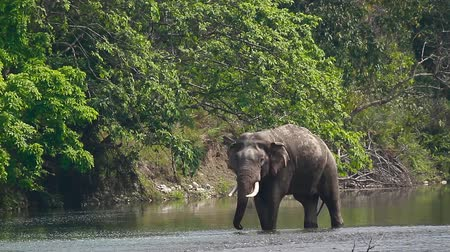 presente : Asian Elephant male drinking water in Bardia national park, Nepal - specie Elephas maximus family of Elephantidae Stock Footage