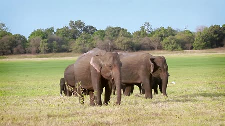 terai : Asian Elephant in Minnerya National Park, Sri Lanka - specie family of Elephantidae