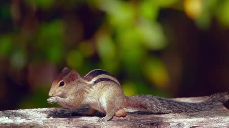 sciuridae : Indian palm squirrel playing in Minnerya national park, Sri Lanka - specie Funambulus palmarum family of Sciuridae Stock Footage