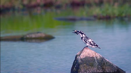 bardia : Foot kingfisher eating a fish in Arugam bay nature reserve, Sri Lanka - specie Ceryle rudis family of Alcedinidae Stock Footage