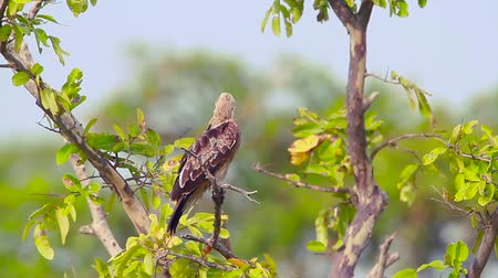 ranthambore national park : Changeable hawk eagle grooming in Arugam bay nature reserve, Sri Lanka - specie Spizaetus cirrhatus family of Accipitridae Stock Footage