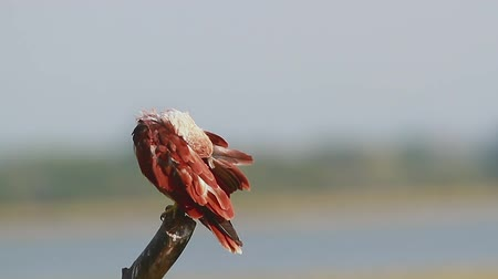 accipitridae : Brahminy kite grooming in Arugam bay nature reserve, Sri Lanka - specie Haliastur indus family of Accipitridae
