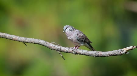 reserva : Spotted dove on branch in Bundala national park, Sri Lanka - specie Streptopelia chinensis family of Columbidae Stock Footage