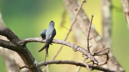 terai : Crested Treeswift couple in Ella, Sri Lanka - specie Hemiprocne coronata family of Apodidae Stock Footage