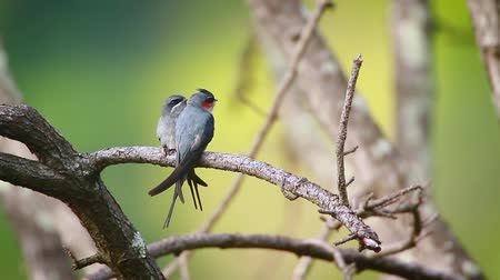 endangered species : Crested Treeswift couple in Ella, Sri Lanka - specie Hemiprocne coronata family of Apodidae Stock Footage