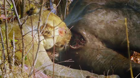 limpopo : Lioness eating a buffalo in Kruger National Park, South Africa; Specie Panthera leo family of Felidae Stock Footage