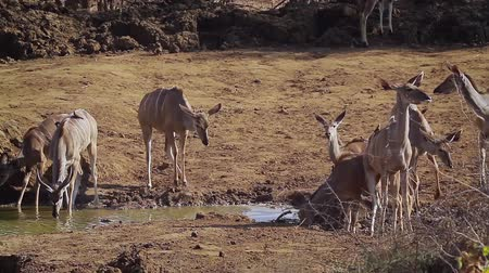 limpopo : Group of Greater Kudu Drinking Water in Kruger National Park, South Africa; Specie Tragelaphus strepsiceros family of Bovidae Stock Footage