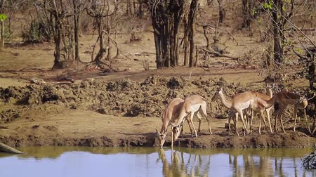 limpopo : Group of Common Impala Drinking Water in Kruger National Park, South Africa; Specie Aepyceros melampus family of Bovidae