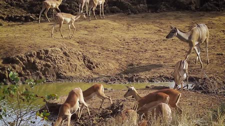 limpopo : Group of impala and Greater kudu drinking water in Kruger National park, South Africa; Specie Tragelaphus strepsiceros family of Bovidae