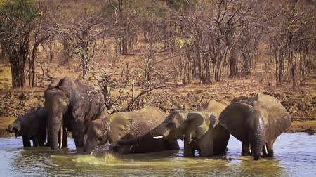 endangered species : Herd of African bush elephant drinking and bathing in Kruger National Park, South Africa; Specie Loxodonta africana family of Elephantidae