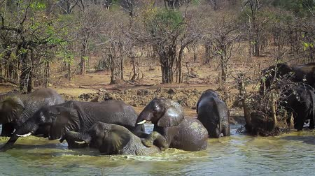 small group of animals : Herd of African bush elephant drinking and bathing in Kruger National Park, South Africa; Specie Loxodonta africana family of Elephantidae