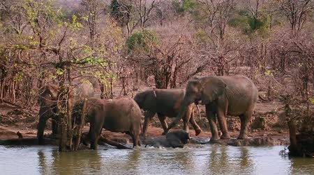zimbabwe : Herd of African bush elephant drinking and bathing in Kruger National Park, South Africa; Specie Loxodonta africana family of Elephantidae