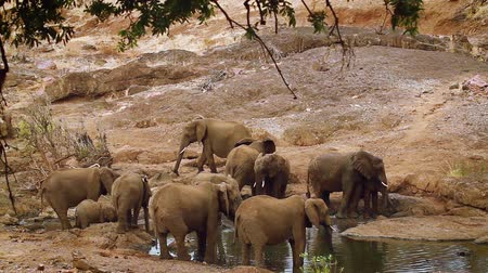 limpopo : Herd of African bush elephant drinking and bathing in Kruger National Park, South Africa; Specie Loxodonta africana family of Elephantidae