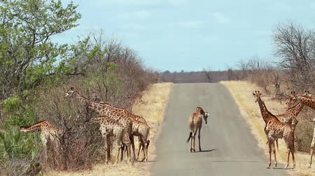 limpopo : Herd of Giraffe walking on safari road in Kruger National Park, South Africa; Giraffa Specie camelopardalis family of Giraffidae