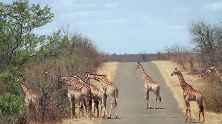 zimbabwe : Herd of Giraffe walking on safari road in Kruger National Park, South Africa; Giraffa Specie camelopardalis family of Giraffidae