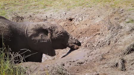 reserva : Young African bush elephant having mud bath in Kruger National Park, South Africa; Specie Loxodonta africana family of Elephantidae