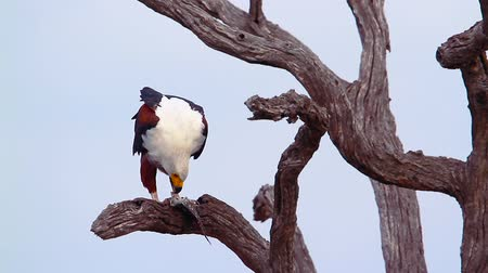 limpopo : African fish eagle in Kruger National Park, South Africa; Specie Haliaeetus vocifer family of Accipitridae